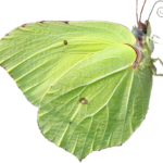 butterfly png download